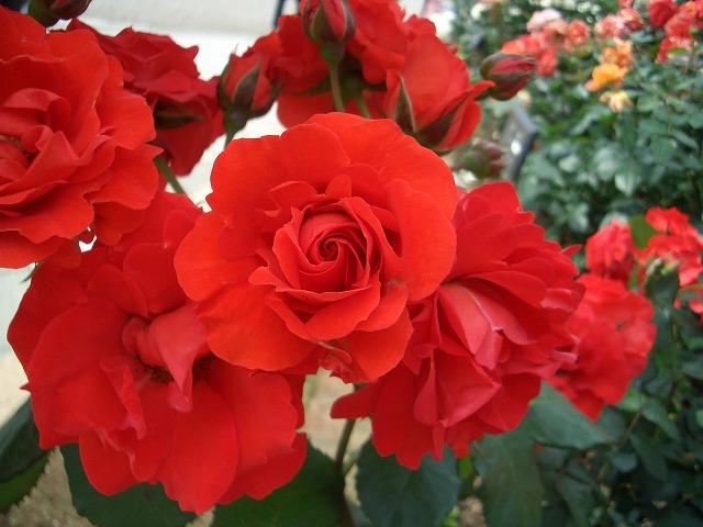 富士市は「バラのまち」です!_f0141310_210268.jpg