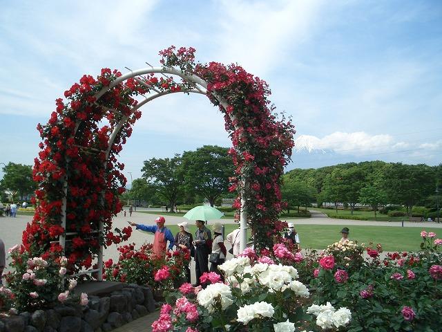 富士市は「バラのまち」です!_f0141310_2102880.jpg
