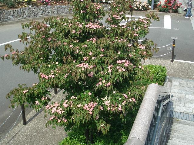 富士市は「バラのまち」です!_f0141310_2115211.jpg