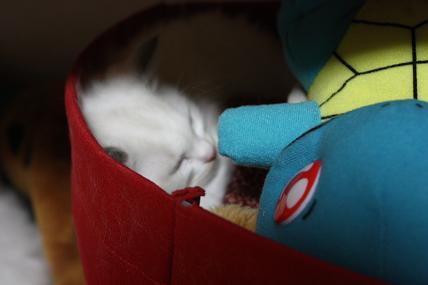 ラグドール仔猫  かくれんぼの巻_d0126813_20581174.jpg