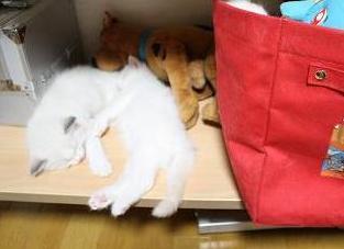 ラグドール仔猫  かくれんぼの巻_d0126813_21204442.jpg