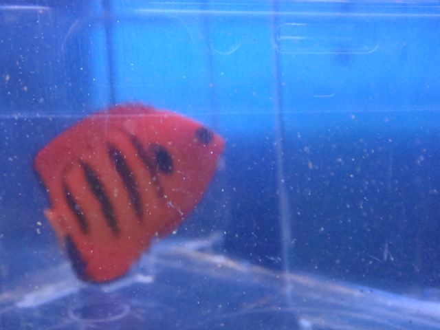 海水魚・サンゴ・水草・日本産淡水魚_f0189122_14271535.jpg
