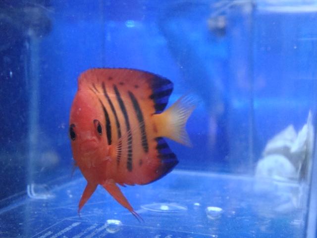 海水魚・サンゴ・水草・日本産淡水魚_f0189122_14272238.jpg