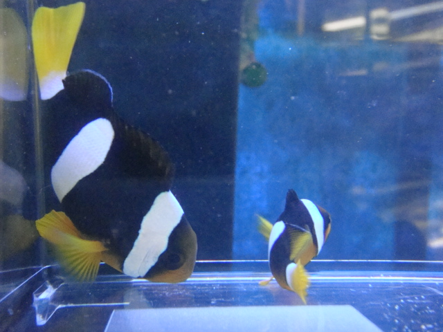 海水魚・サンゴ・水草・日本産淡水魚_f0189122_14282761.jpg