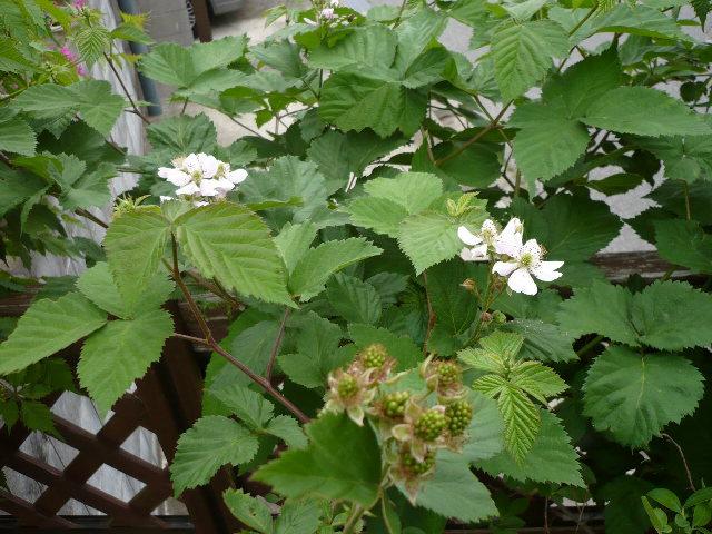 のんべえの庭は酒のツマミのネタばかり・・・_f0193752_1165258.jpg