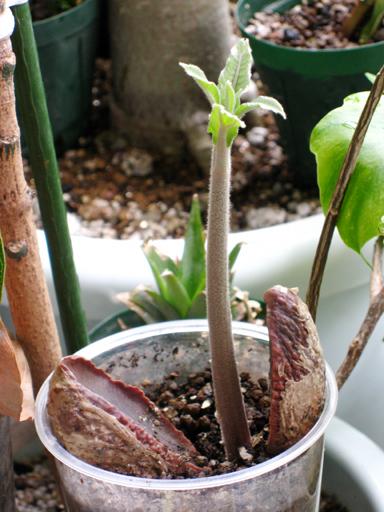 サポテ(マミーサポテ)の発芽, germination of a mamey sapote seed
