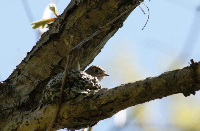 5月20日 山に戻った夏鳥は・・・・・_b0078795_20484470.jpg