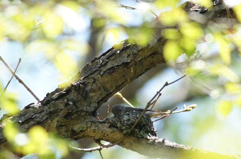 5月20日 山に戻った夏鳥は・・・・・_b0078795_20485615.jpg