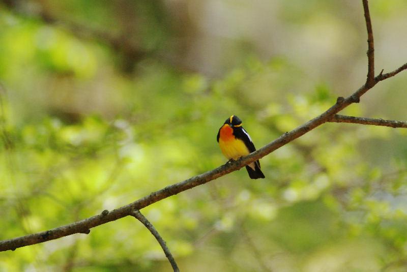 5月20日 山に戻った夏鳥は・・・・・_b0078795_20512241.jpg