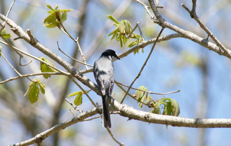 5月20日 山に戻った夏鳥は・・・・・_b0078795_20514658.jpg