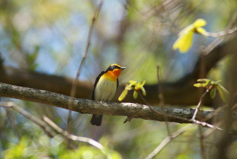 5月20日 山に戻った夏鳥は・・・・・_b0078795_2051851.jpg
