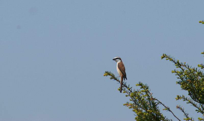 5月20日 山に戻った夏鳥は・・・・・_b0078795_20542152.jpg