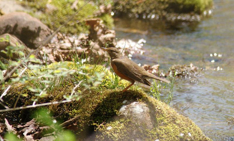 5月20日 山に戻った夏鳥は・・・・・_b0078795_20545057.jpg