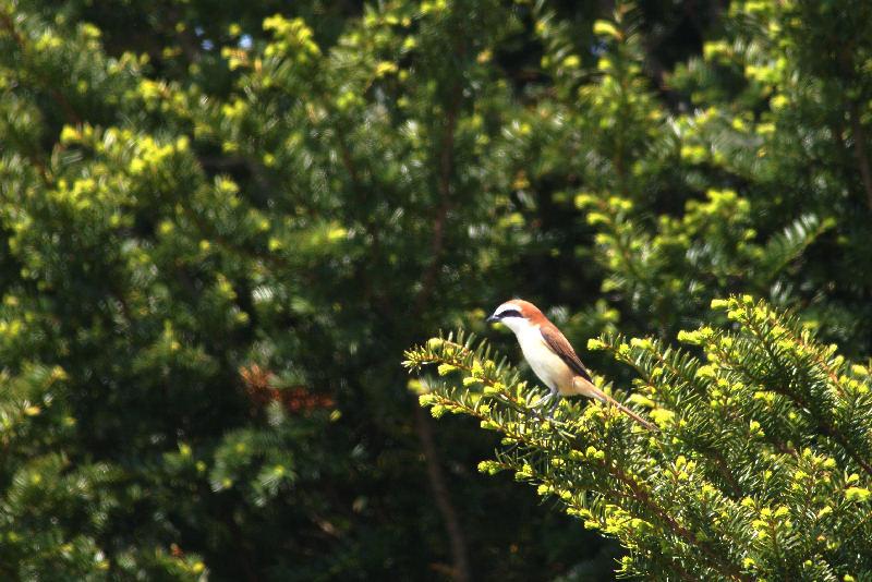 5月20日 山に戻った夏鳥は・・・・・_b0078795_2054945.jpg