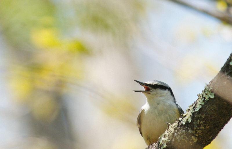 5月20日 山に戻った夏鳥は・・・・・_b0078795_734794.jpg