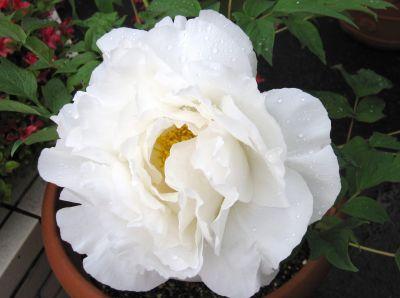 白い牡丹_c0165824_16341013.jpg