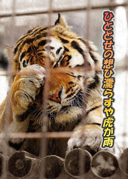 虎の画像 p1_3