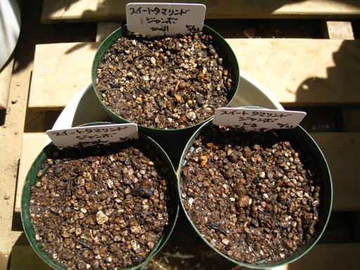 スイートタマリンド種まき