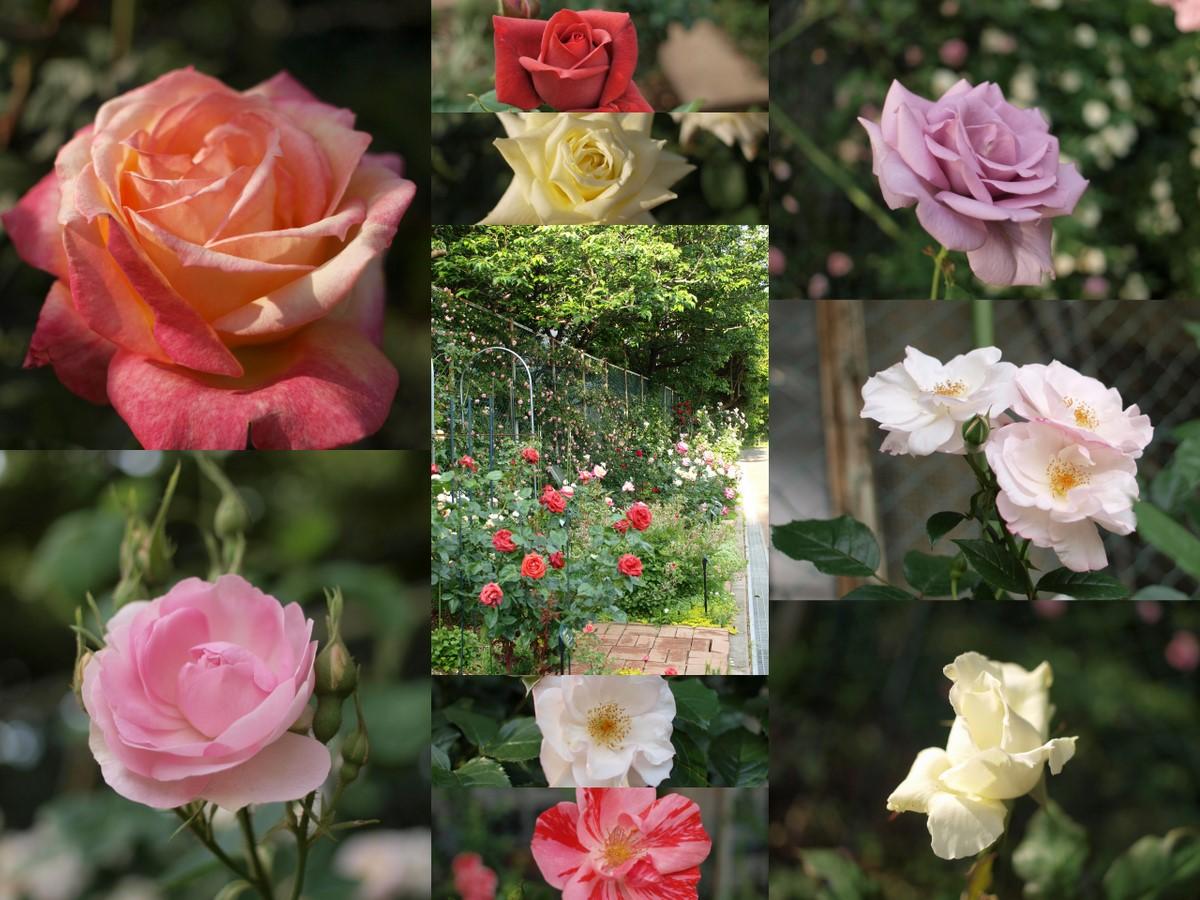 バラの小径~会員さんから。_a0094959_2253539.jpg