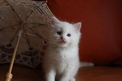ラグドール仔猫  写真撮影_d0126813_124263.jpg