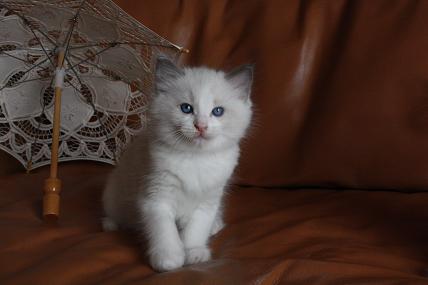 ラグドール仔猫  写真撮影_d0126813_125779.jpg