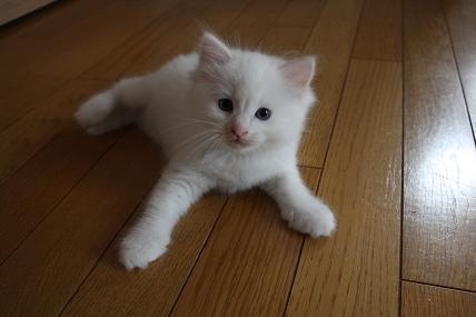ラグドール仔猫  写真撮影_d0126813_133344.jpg