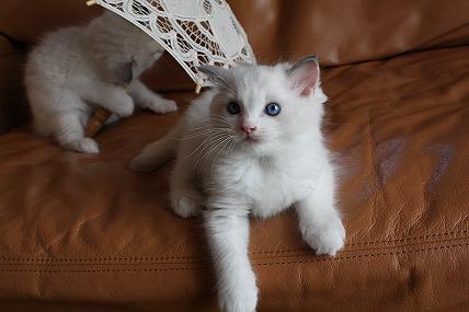 ラグドール仔猫  写真撮影_d0126813_13825.jpg