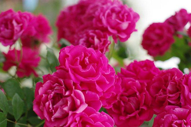 薔薇の香りにつつまれて。。。_e0171336_21192862.jpg