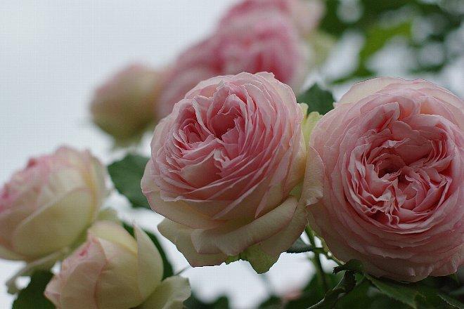 薔薇の香りにつつまれて。。。_e0171336_21215427.jpg