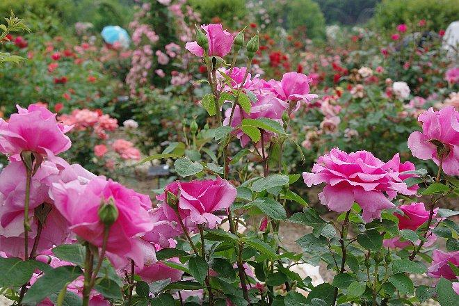 薔薇の香りにつつまれて。。。_e0171336_21225484.jpg