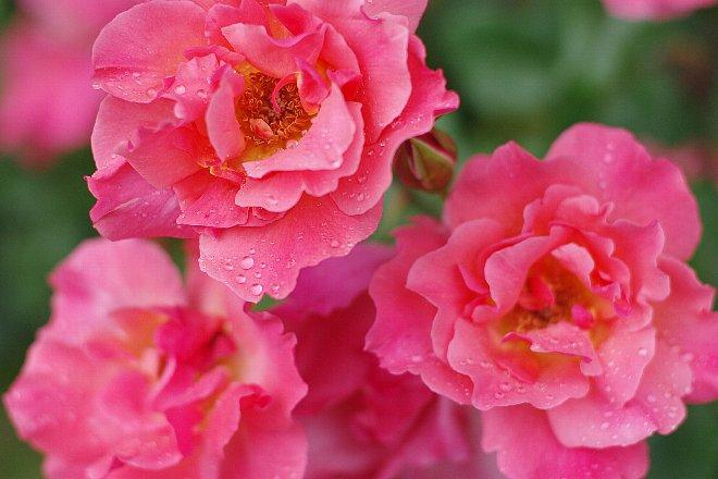 薔薇の香りにつつまれて。。。_e0171336_21242952.jpg