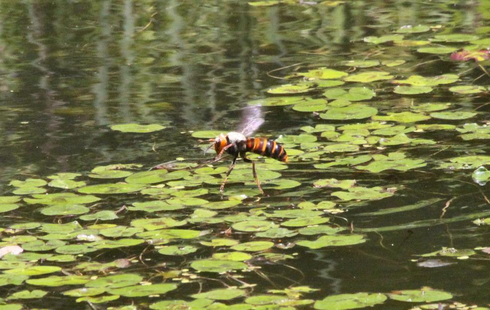 オオスズメバチが。。。_a0107574_1643792.jpg
