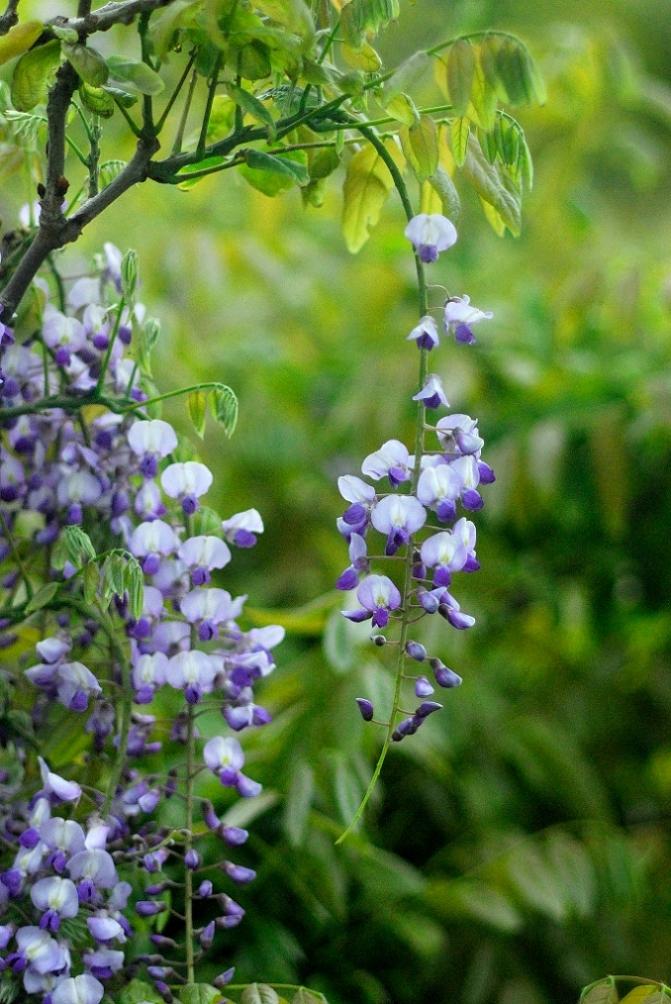 藤の花 4題_f0205287_2322096.jpg