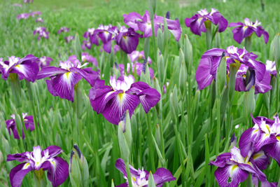 花菖蒲を見に・・_b0142989_2132781.jpg