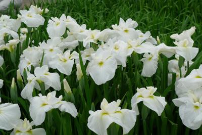 花菖蒲を見に・・_b0142989_21383151.jpg