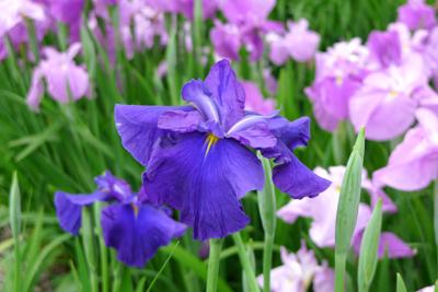 花菖蒲を見に・・_b0142989_2143650.jpg