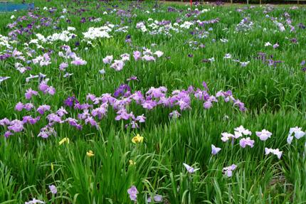 花菖蒲を見に・・_b0142989_21472063.jpg