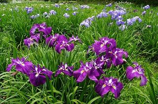 花しょうぶ   (江戸の花)_c0187004_22151568.jpg