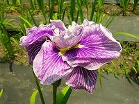 花しょうぶ   (江戸の花)_c0187004_22175823.jpg