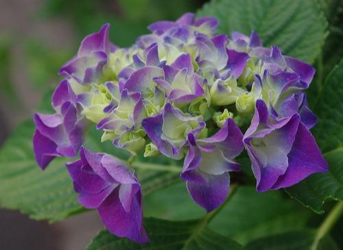 花・歳時記 紫陽花の巻_d0147812_20424219.jpg