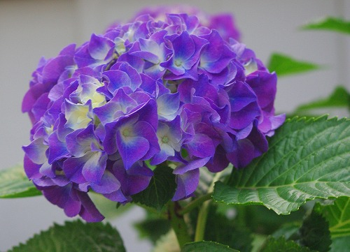 花・歳時記 紫陽花の巻_d0147812_2043822.jpg