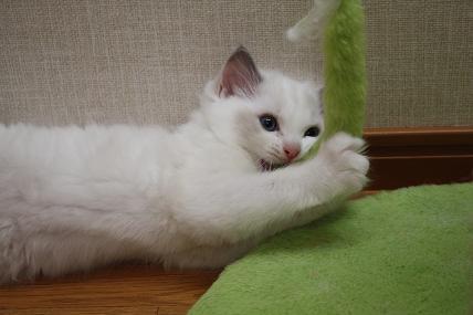 ラグドール仔猫  どんどん成長~_d0126813_21354829.jpg