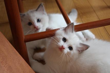 ラグドール仔猫  どんどん成長~_d0126813_2136254.jpg