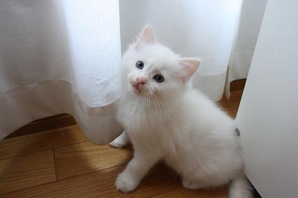 ラグドール仔猫  どんどん成長~_d0126813_21364676.jpg