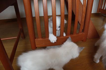 ラグドール仔猫  どんどん成長~_d0126813_2136920.jpg