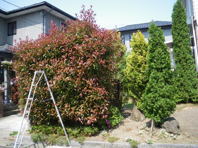 庭樹剪定です_c0186441_22214793.jpg
