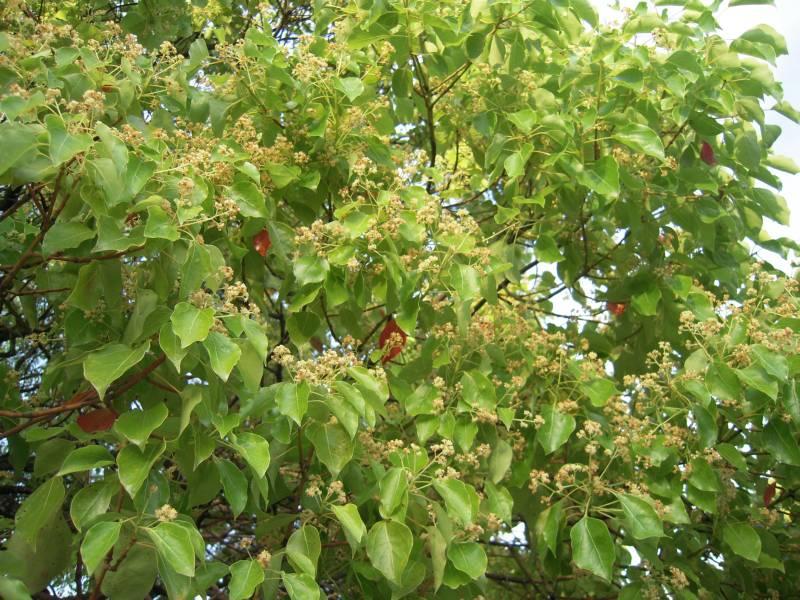 クスノキの花殻_e0122952_9582829.jpg