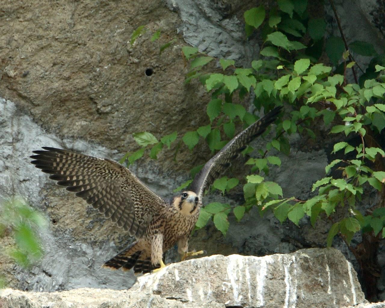 可愛い猛禽?巣立ったばかりのハヤブサ幼鳥飛行練習_f0105570_2159921.jpg