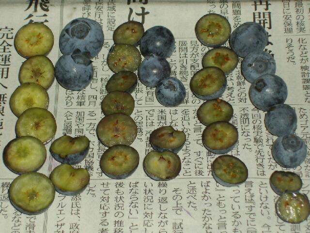 果肉の色による品種同定@ブルーベリー栽培_f0018078_8512221.jpg