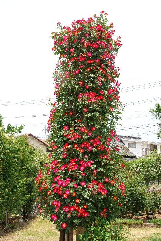 バラ園と温泉_e0087201_2330281.jpg